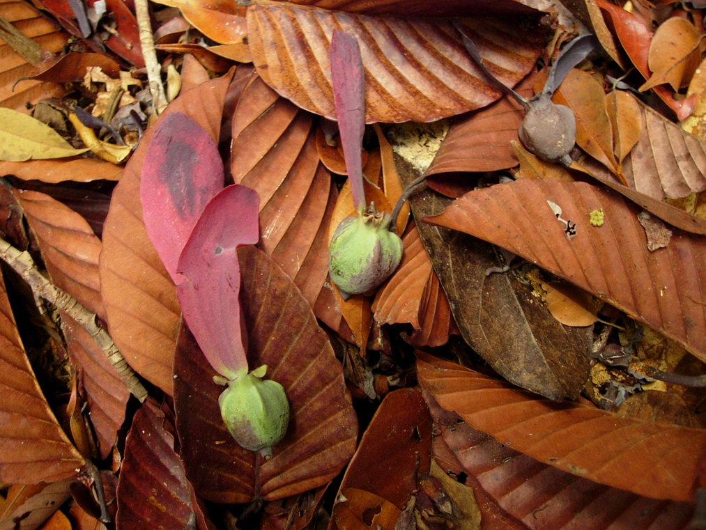 Fruit of the Dipterocarpus globosus tree, a critically endangered species found on the island of Borneo.