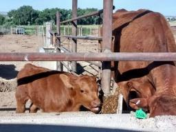 A young nursing calf needs access to solid feed and water almost from birth.  Photo courtesy of Karla Jenkins.