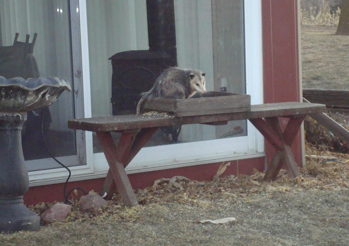Opossum raiding a bird feeding station. (Photo by Soni Cochran, Nebraska Extension in Lancaster County)