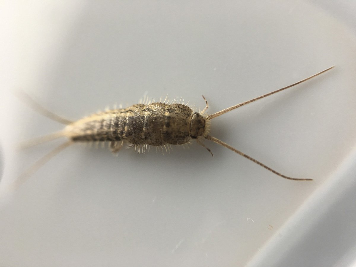 Silverfish and firebrats have a characteristic carrot-shape with two long antennae and three long tail-like appendages. Pictured is a  four-lined silverfish (magnified). (Photo by Jody Green, Nebraska Extension in Lancaster County)