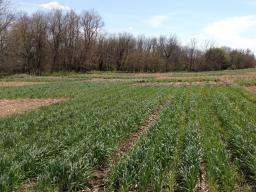 Rye cover crop at late termination (early May) with and without corn residue removal at Rogers Memorial Farm near Lincoln, Nebraska.