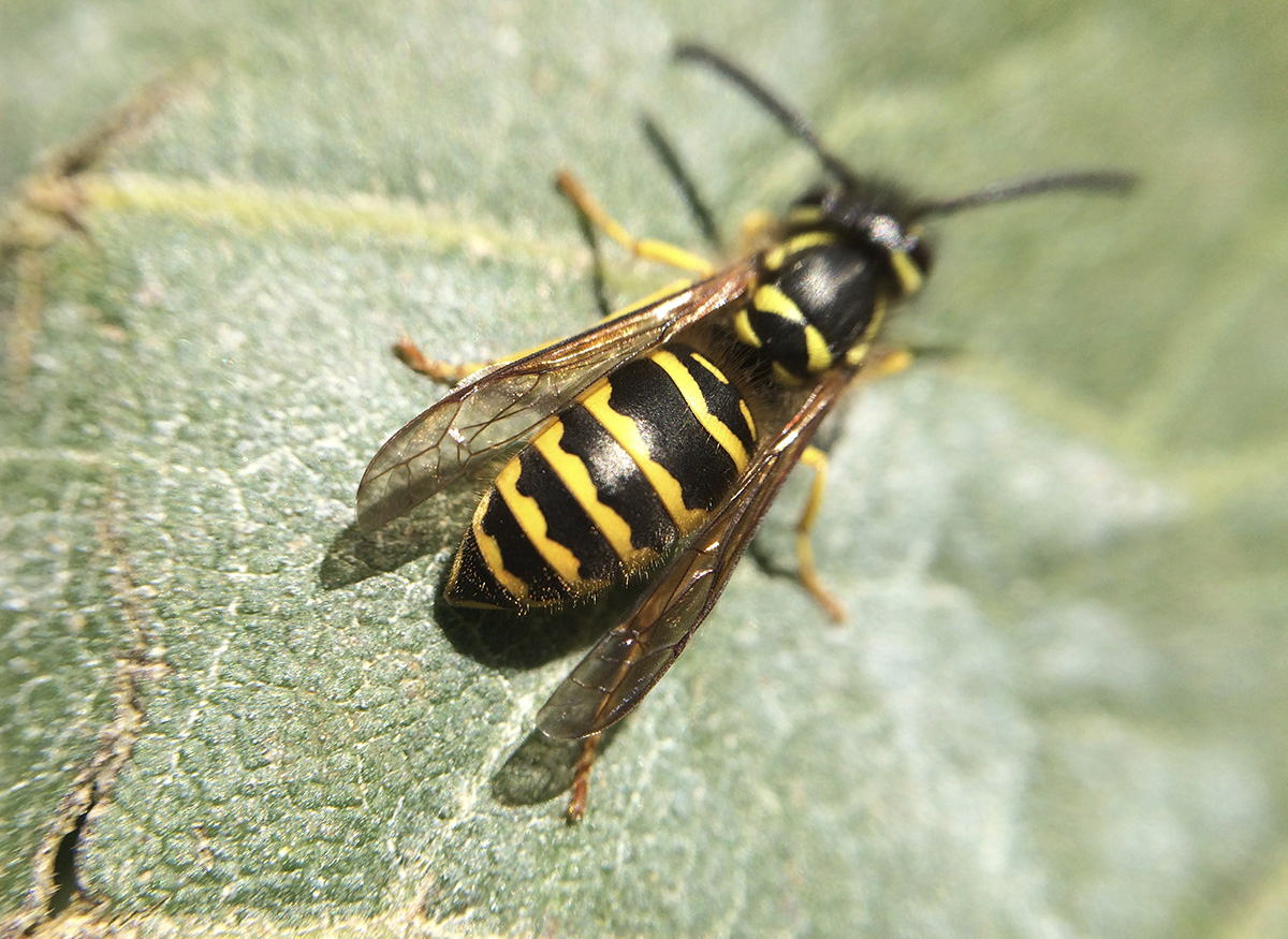 Wasps, like this yellowjacket, appear shiny, with less hair. Their wings are folded into a narrow strip when at rest. Their legs tend to dangle during flight. They feed on nectar as adults,  but prey on other insects to feed their larvae. (Photo by Jody G