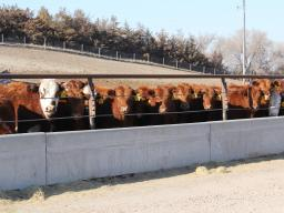 Preconditioning programs can vary greatly from one operation to another but share the common goal of preparing calves for the next phase of production. Photo courtesy of Troy Walz.