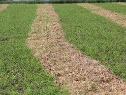 Windrow disease presents special challenges.  Photo courtesy of Troy Walz.