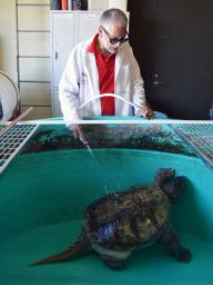 Dennis Ferraro cleans the snapping turtle in his care.   Shawna Richter-Ryerson, Natural Resources