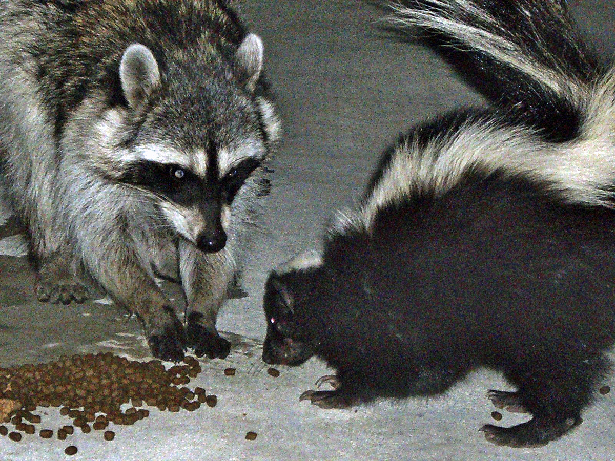 A raccoon and skunk eating  cat food in a backyard. (Photo by Piepie, Wikipedia)