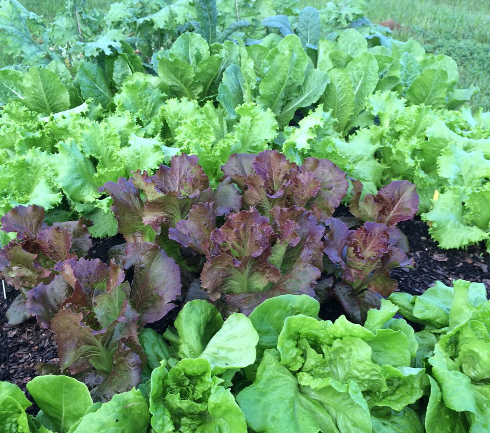 Kale, mustard and lettuce in fall garden. (Photo by Molly Jameson, University of Florida IFAS Extension)