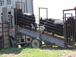 Incorporating good stockmanship during sorting, loading and unloading can assist in reducing bruising. Photo courtesy of Troy Walz.