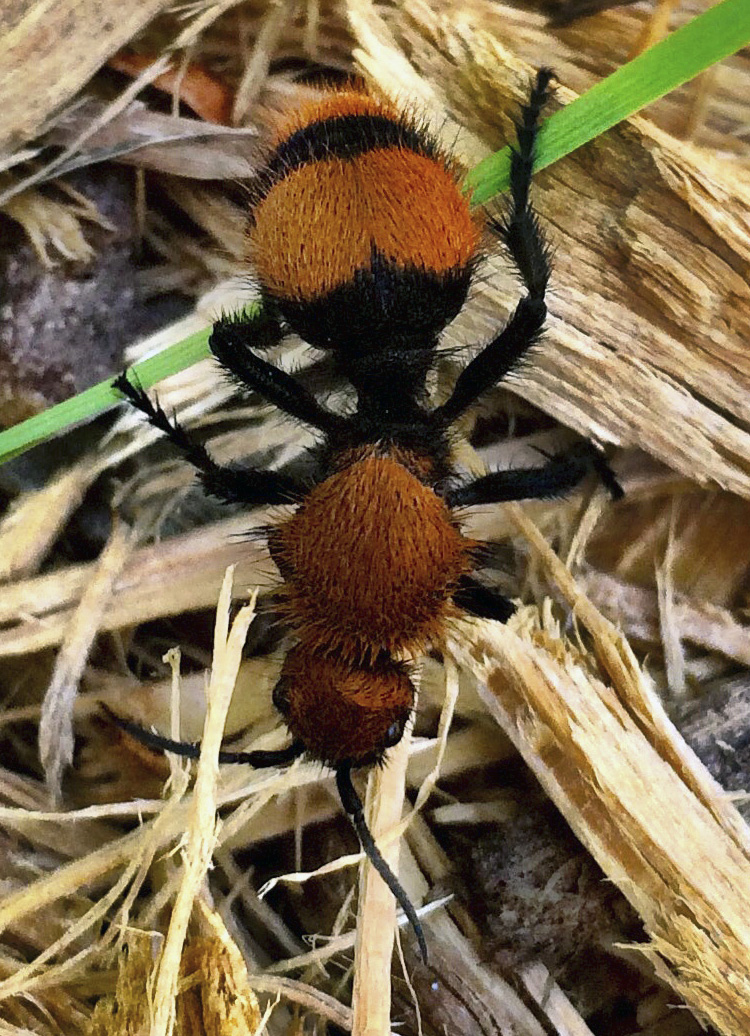 Female cow killer ant, a velvet ant, can be up to 3/4-inch long. (Photo by Jody Green, Nebraska Extension in Lancaster County)