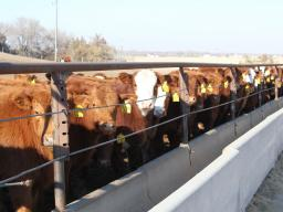 Bunk space can vary depending on if calves were preconditioned or not prior to entering the feedlot. Photo courtes of Troy Walz.
